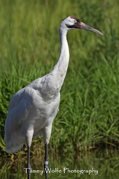 Whooping Crane at the International Crane Foundation