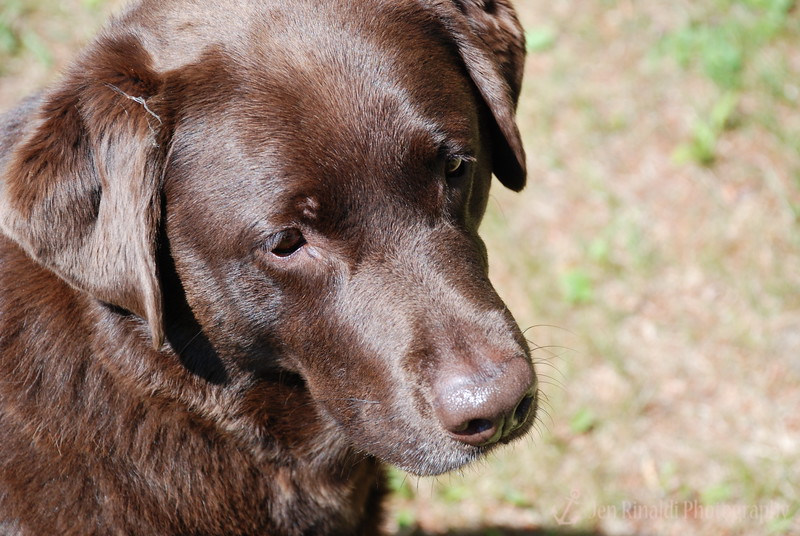 """Sally"" - A Chocolate Lab I made friends with at the cottages I stayed at in Lake George, NY."