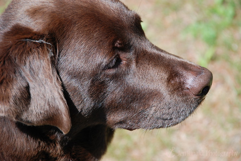 """""""Sally"""" - A Chocolate Lab I made friends with at the cottages I stayed at in Lake George, NY."""