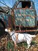 JoJo the Jack Russell Terrier