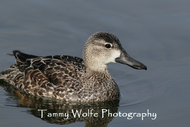Blue-winged Teal (Anas discors)