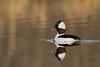 Bufflehead Duck (Bucephala albeola)