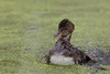 Hooded Merganser (Lophodytes cucullatus), Duckling Splashing