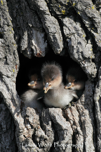 "Baby Hooded Mergansers (Lophodytes cucullatus) on ""Jump Day"""