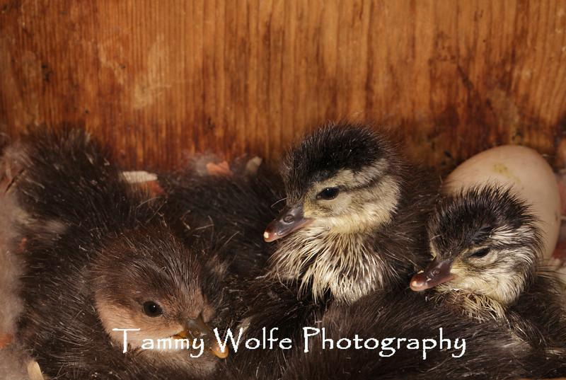 Wood Duck (Aix sponsa) and Hooded Merganser (Lophodytes cucullatus) Ducklings; Hooded Merganser incubated 7 - 8 hoodeded merganser eggs and 3 wood duck eggs
