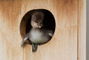 Hooded Merganser (Lophodytes cucullatus), Duckling about to leave nest box