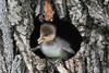 Hooded Merganser (Lophodytes cucullatus) Duckling