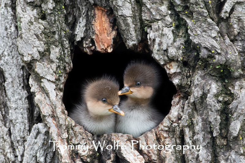 Hooded Merganser (Lophodytes cucullatus) Ducklings