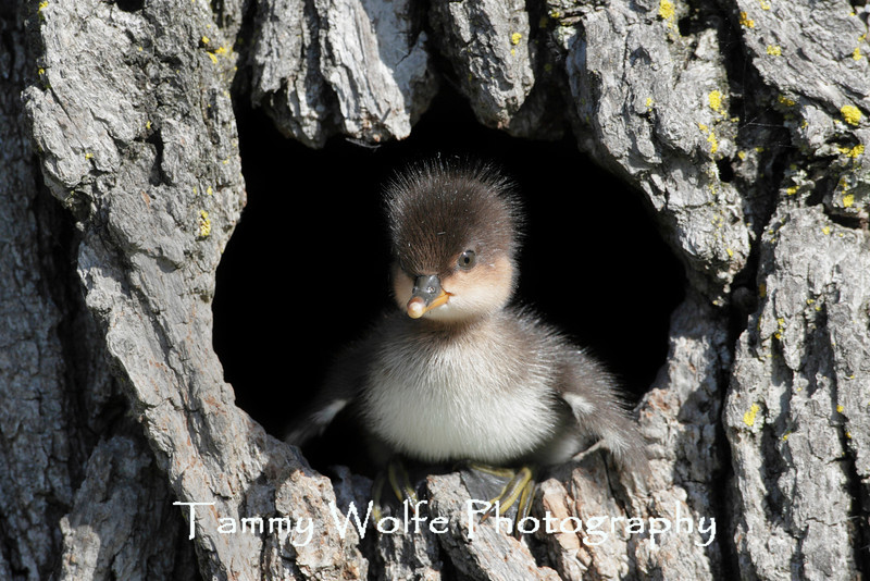 Hooded Merganser (Lophodytes cucullatus), Duckling about to leave nesting cavitiy