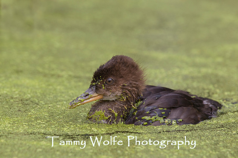 Hooded Merganser (Lophodytes cucullatus), Duckling Swimming in Duck Weed