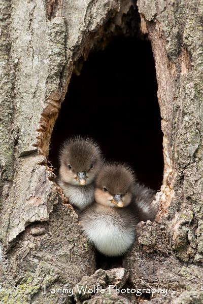 Hooded Merganser (Lophodytes cucullatus) Ducklings