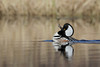Hooded Merganser (Lophodytes cucullatus), Displaying Drake