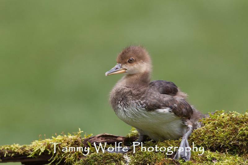 Hooded Merganser (Lophodytes cucullatus) Duckling (About 5 weeks old)