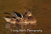 Female Mallard preening her feathers. Fall foliage reflecting on the surface of the water.