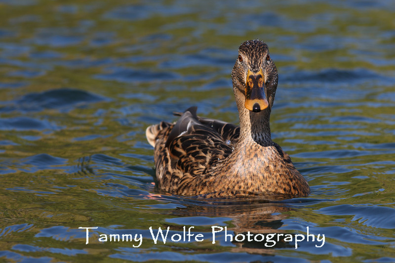 Female Mallard with Water Droplets Beading
