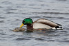 A pair of Mallards (Anas platyrhynchos) Mating