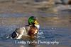 Mallard Splashing (#0088)