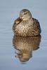 Mallard (Anas platyrhynchos)