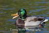 Quacking Mallard
