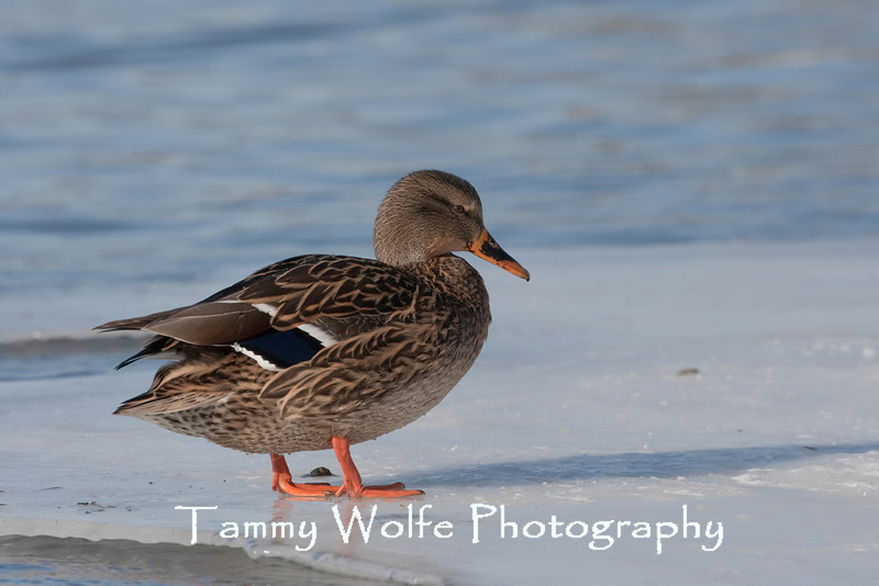 Mallard Hen on Ice