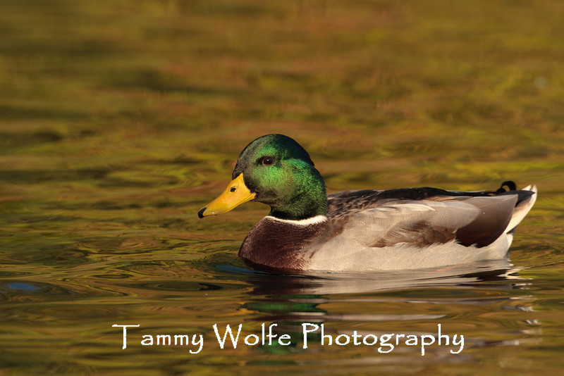Mallard with fall foliage reflecting on the surface of the water