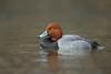 Redhead (Aythya americana)