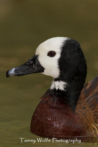 White-faced Whistling Tree Duck (Dendrocygna viduata)*