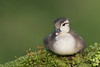 Wood Duck (Aix sponsa) Duckling Resting on a Mossy Log