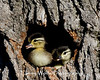 Wood Duck Ducklings about to leap from a nesting cavity