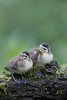Wood Duck (Aix sponsa) Ducklings