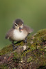 Wood Duck (Aix sponsa) Duckling
