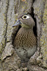 Wood Duck (Aix sponsa), Hen checking for danger before allowing her babies to jump from nesting cavity