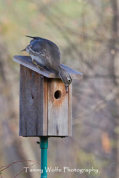 Female Wood Duck (Aix sponsa) checking out a bluebird nest box