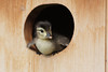 Wood Duck (Aix sponsa), Duckling about to leap from nest box
