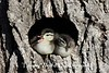Wood Duck ducklings about to leave the nest