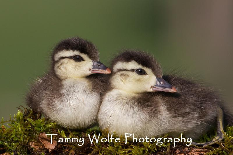 Wood Duck (Aix sponsa) Ducklings