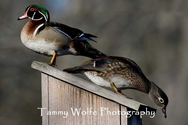 Male and Female Wood Ducks on a Nest Box (#0091)