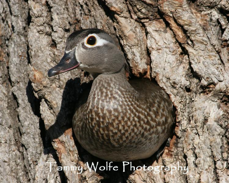 Wood Duck Hen exiting the nest