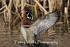 Male Wood Duck Stretching Wings
