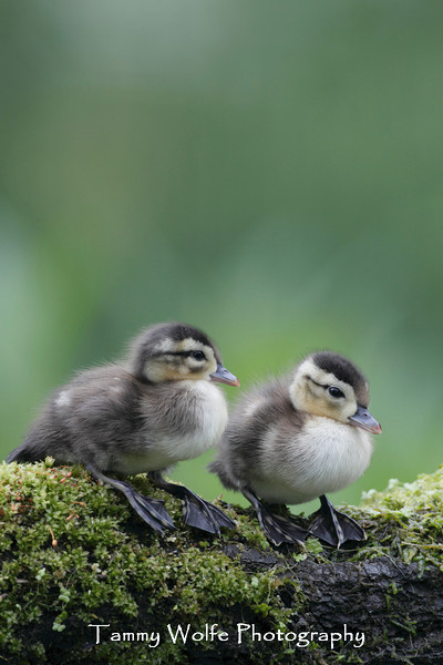 Wood Duck (Aix sponsa) Ducklings on a log