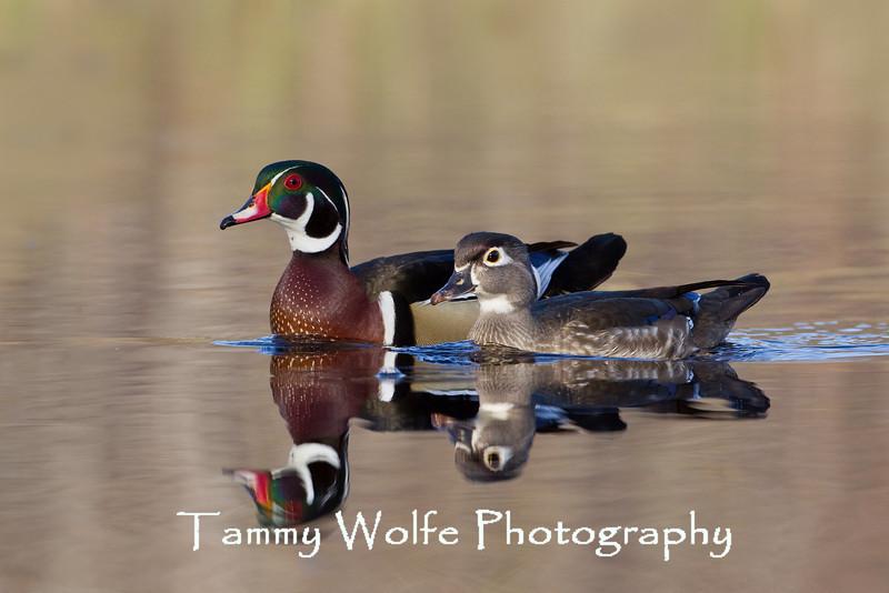 Wood Duck (Aix sponsa), Male and Female