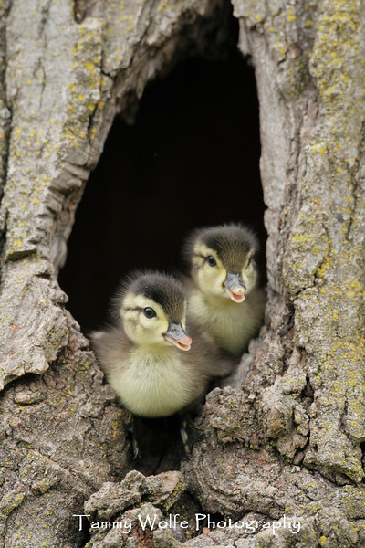 Wood Duck (Aix sponsa), Ducklings about to leap from nesting cavity