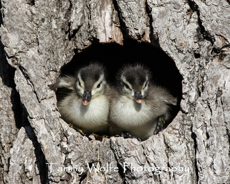 Wood Duck ducklings about to leave the nest (#5500)