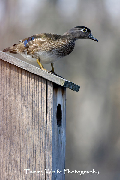 Female Wood Duck Standing on a Nest Box