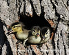 Wood Duck Ducklings about to leap from a nesting cavitiy