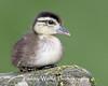 Wood Duck (Aix sponsa) Duckling