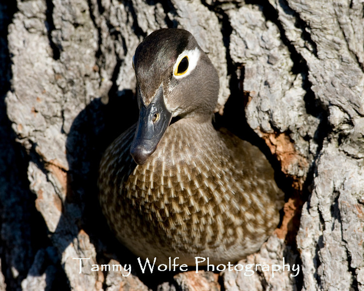 Female Wood Duck determining if conditions are safe for the ducklings to leave the nest box