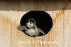 Wood Duck duckling about to leave the nest box