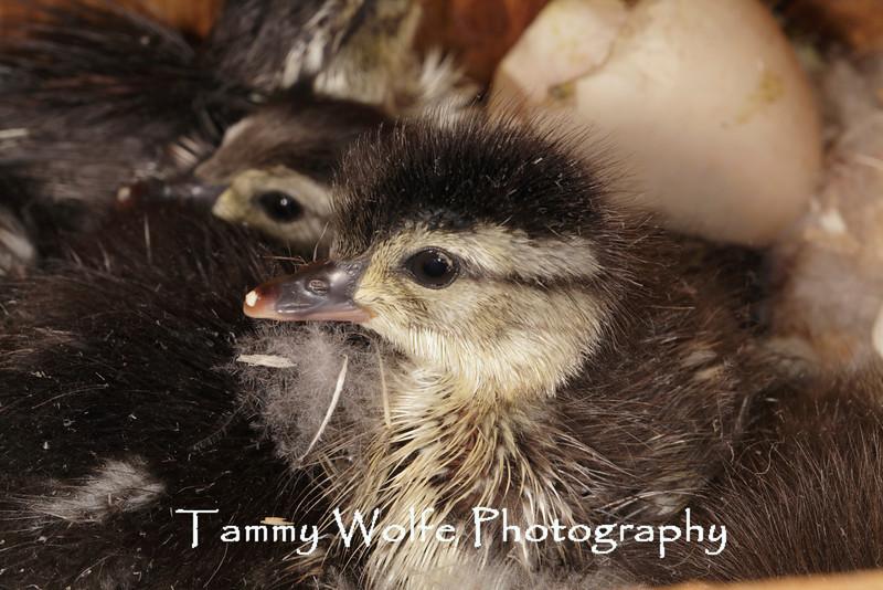 Wood Duck (Aix sponsa) Duckling in a Nest Box; Hooded Merganser hen incubated 7 - 8 hoodeded merganser eggs and 3 wood duck eggs