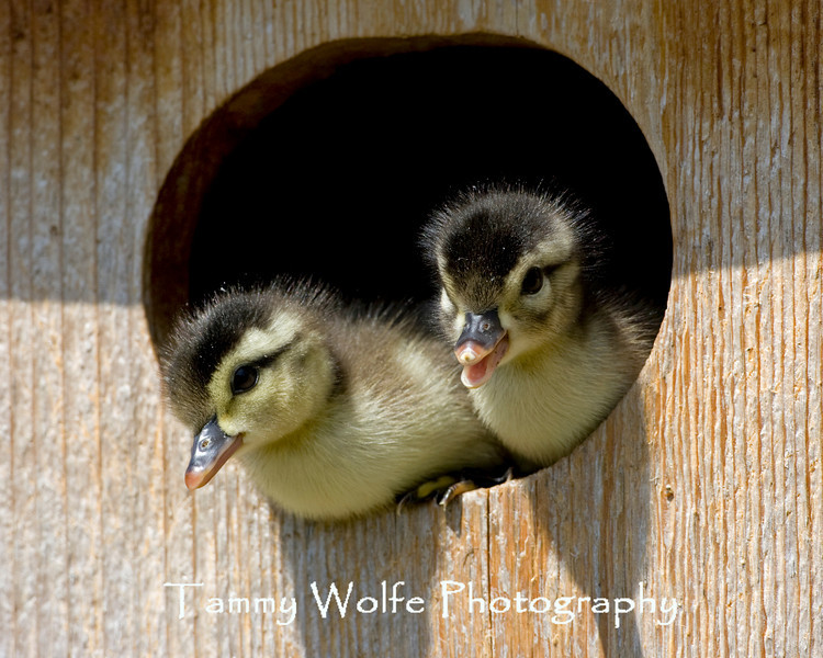 Wood Duck ducklings about to leave the nest box